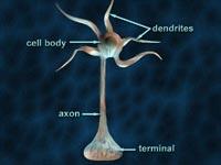Анатомия нейрона